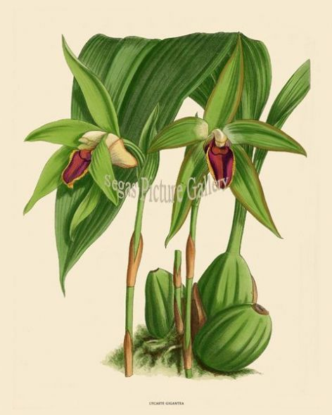 Fine art print of the Orchid Lycaste Gigantea by John Nugent Fitch